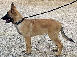 belgian shepherd rescue california farbenholt kennels at farbenholt kennels we have quality belgian