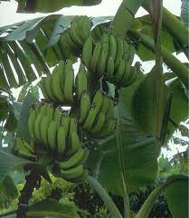 banana plants and banana trees 50 size plants
