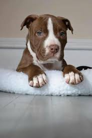 america pit bull terrier club 231 best amerikaanse staffordshire terriër images on pinterest