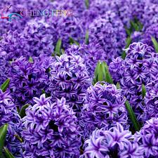 Indoor Flowers Compare Prices On Hyacinthus Flower Online Shopping Buy Low Price