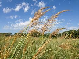 planting native grasses native plant alternatives for three common non natives dyck