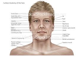 Surface Anatomy Eye Surface Anatomy Of The Face And Skin U2013 Medical Stock Images Company