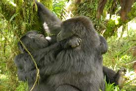 Gorilla Activity Documented In Female Gorillas For The First