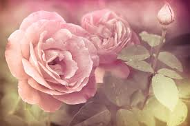 Meaning Of Pink Roses Flowers - easter flowers flower meaning