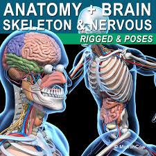 Nervous System Human Anatomy Anatomy Nervous Systems Max