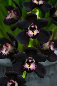 black orchid flower the of black orchid flowers and black