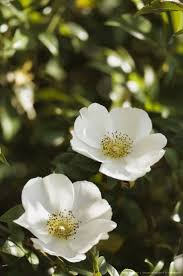 plants native to south carolina 430 best queen images on pinterest queens roses and beautiful roses