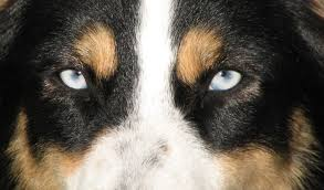 faithwalk aussies eyes pigment markings