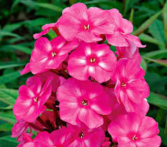 phlox flower phlox candy store bubblegum pink white flower farm