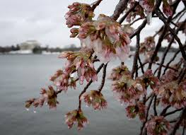 can the cherry blossoms survive this cold snowy week the