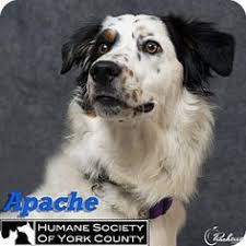 south carolina australian shepherd rescue is this your lost pet found in fort mill sc 29715 please spread