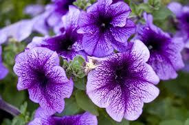 purple flowers pictures of purple flowers