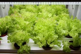 Hydroponics Vegetable Gardening by Grow Your Own Veggies U2013in A Cabinet With No Soil Inquirer Lifestyle
