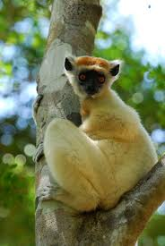 golden crowned sifaka wikipedia