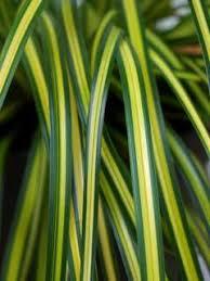 grasses shade tolerant