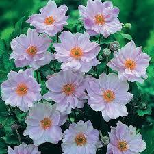 anemone hybrida u0027queen charlotte u0027 plug plants thompson u0026 morgan