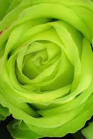 green roses 14 color meanings what do the colors of roses for