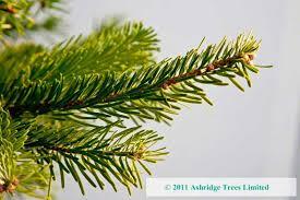 nordmann fir hedging order ashridge nurseries