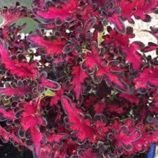 coleus plectranthus scutellarioides fairy flowers brady u0027s