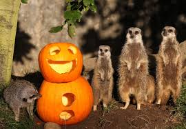halloween 2012 cute animals play with pumpkins pictures