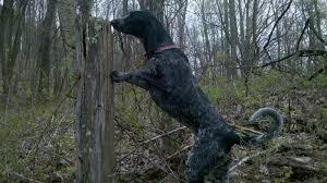 bluetick coonhound rescue nc bluetick coonhound coonhounds www bluetick1kennels com blueticks