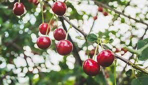Cherry Tree Fruit - how to grow cherry trees hobby farms