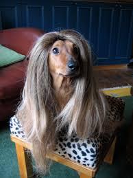 afghan hound judith light my dachsund looks great in a wig aww