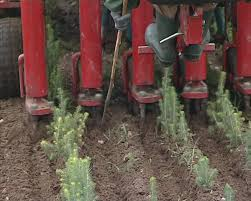 tractor plow up fir spruce tree seedlings forest planting