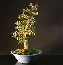 pot bonsai design specimen satsuki azalea