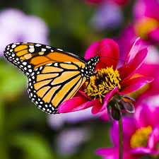 butterflies hummingbirds tagged lilies zephyranthes