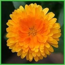 Calendula Flowers 23 Best Calendula Images On Pinterest Flowers Daisy And Healing