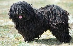 belgian sheepdog dogtime puli dog breed information pictures characteristics u0026 facts