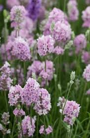 Most Fragrant Lavender Plant - lavender u0027munstead u0027 very hardy in bend and emits a lovely