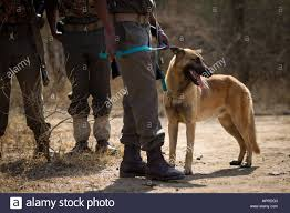 belgian malinois en espanol belgian malinois dogs are used by anti poaching patrols in kruger