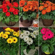 gerbera plant gerbera bengal mix f1 harris seeds