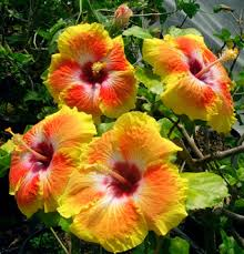 Which State Has A Hibiscus by Hidden Valley Hibiscus Exotic Tropical Hibiscus Hybrids