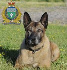 belgian shepherd quebec dead hero police dog u0027s genes saved for future breeding toronto star