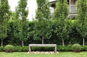 podocarpus falcatus hedge pyrus ussuriensis with low gardenia