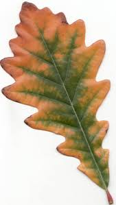White Oak A Quick But Complete Review Of Common Oak Tree Species