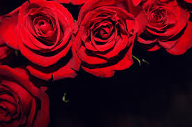 roses flowers wallpaper roses flowers buds black background hd picture