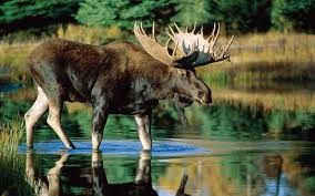 download moose wallpaper photo new images download
