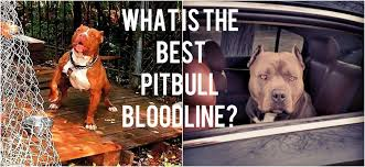 american pitbull terrier game bred bloodlines best pitbull bloodlines different types of red u0026 blue nose pitbulls