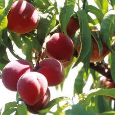 patio fruit tree peach avalon pride 1 peach trees fruit trees