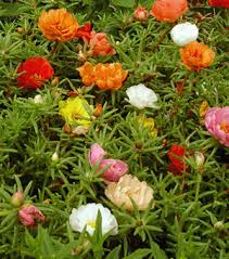 Nice Flower Picture - portulaca is a nice flower for fairy gardens every flower on a