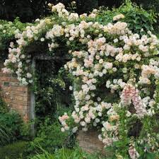 22 best rambling roses images on pinterest climbing roses
