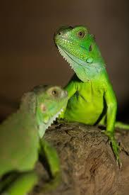 imágenes de iguanas verdes iguanas verdes foto de archivo imagen de conservación 57933320