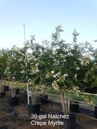 mexican redbud susceptible to overwatering in landscape settings