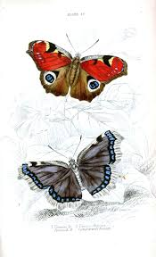 animal insect butterfly british butterflies 12