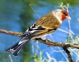صور لطائر الحسون