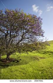 Tree With Purple Flowers Jacaranda Tree Blooming With Purple Flowers In Field Of Green